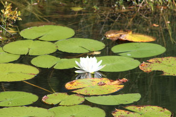 Lily pads in a pond with a white blooming lotus flower