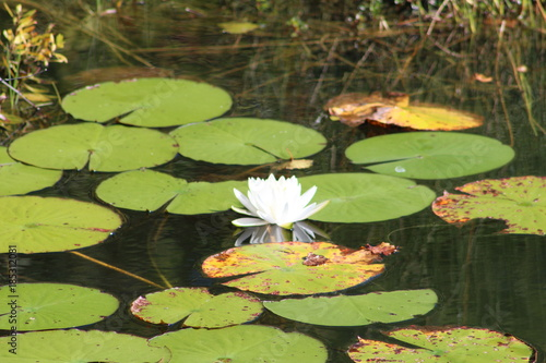 Lily Pads In A Pond With A White Blooming Lotus Flower Stock Photo