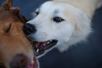 Love you, Brown and white dogs are playing on soft background, Close up.