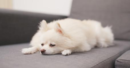 Tired lovely dog lying on sofa