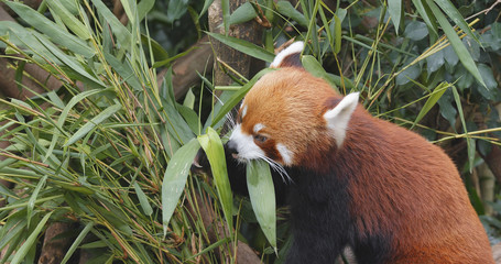 Wall Mural - Red panda eating bamboo tree