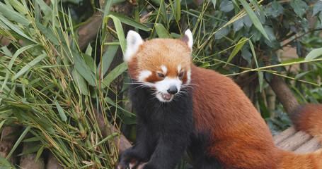 Fototapete - Red panda eating bamboo