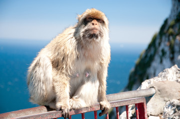 A marmoset is posing for the photographer in Gibraltar. Gibraltar is the only place in Europe where marmoset live in freedom.