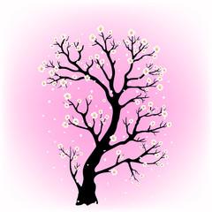 flowering sakura tree