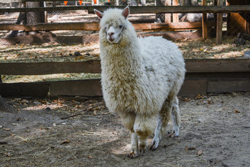 White alpaca in full growth.