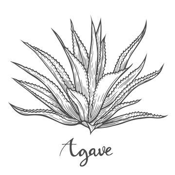 Hand drawn blue agave