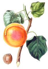 Illustration Of A Fruit.