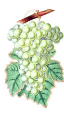 Illustration of grapes.