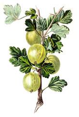 Illustration Of Gooseberries
