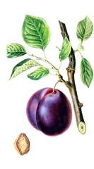 Illustration of a plum.