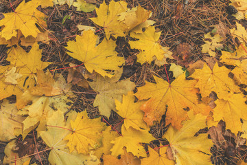 Beautiful autumn background with golden maple leaves in the city park