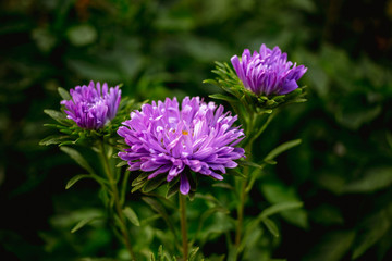 Beautiful violet flower in the garden