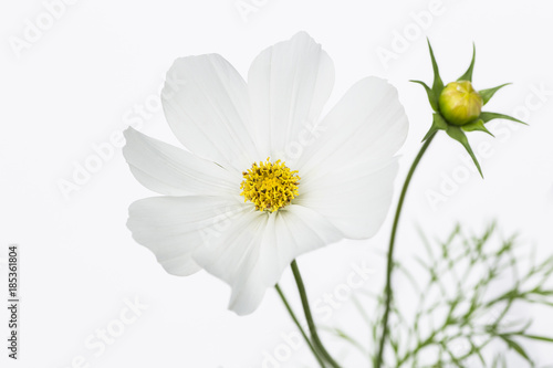 White cosmo flower stock photo and royalty free images on fotolia white cosmo flower mightylinksfo