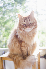 Portrait of Maine Coon cat sitting on wooden stool during sunny day