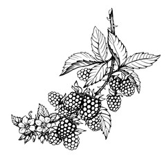 Graphic of branch with blackberry fruit, flowers and leaves (Rubus genus, black berries). Black and white outline illustration, hand drawn work. Isolated on white background.