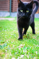 A black cat with beautiful green eyes is walking along the luscious green grass