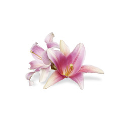 blooming pink orchid flower on white