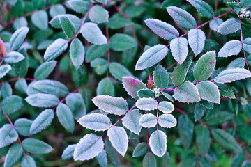 White hoarfrost on green leaves of oregon grape