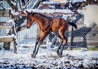 Newborn colt frolics on the street in winter