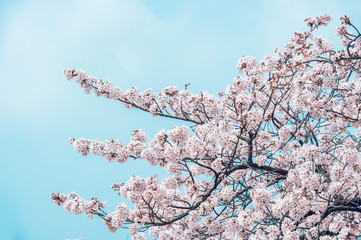 Wall Mural - Cherry blossom in spring. spring season background, Sakura season in korea. Soft focus