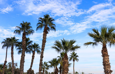 Many palm trees under Cyprus blue sky with few fluffy clouds.
