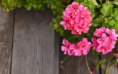Pink geranium flowers in summer garden on old wooden stairs background.Ivy-leaf pelargonium flowers.Geranium Peltatum.