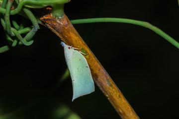 Beautiful White Moth with red eyes sitting resting, Nosy Komba, Madagascar