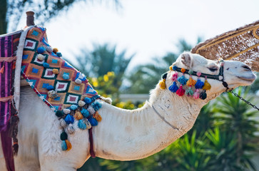 Camel animal decorated with pompoms and tassels