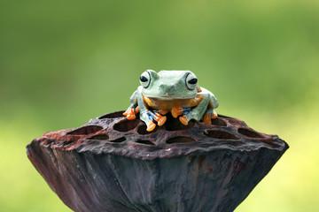 Tree frog, flying frog, Javan tree frog