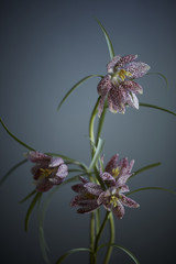 Fritillary flowers against blue background