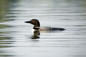 Loon swimming in Canadian lake