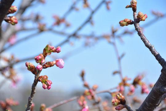桜のつぼみ 早春の風景