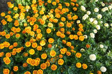yellow orange chrysanthemum in garden beauty in Thailand
