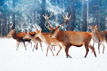 A noble deer with females in the herd against the background of a beautiful winter snow forest. Artistic winter landscape. Christmas image. Selective focus.