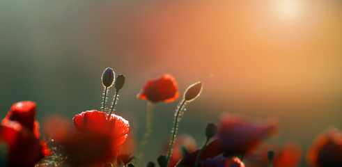 Red Wild poppies in the meadow at sunset, amazing background photo. To jest Polska – Mazury 壁紙(ウォールミューラル)