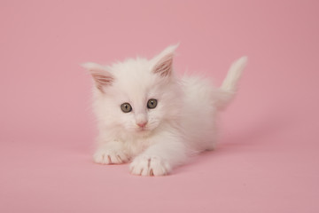 Cute white main coon baby cat kitten playing on a pink background