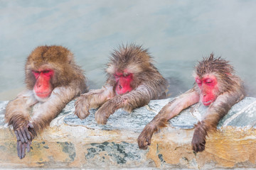 Poster de jardin Singe three Japanese snow monkey onsen (macaques) in the pool in winter