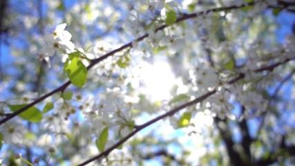 Wall Mural - Camera flying through white flowering tree, closeup Slow motion