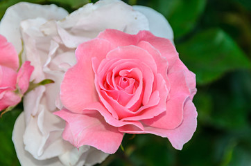 Pink rose flower, green branch plant, bokeh garden background