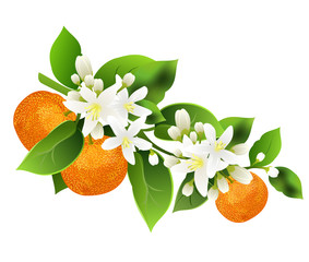 Mandarin branch (Citrus reticulata, mandarin orange, robson) with fruits. Hand drawn vector illustration on white background.