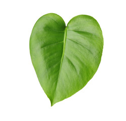 Green leaf of tropical monstera isolated on white