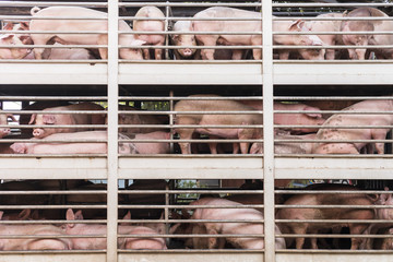 plenty pigs during transport by truck