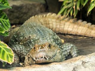 Spectacled Caiman, Caiman crocodilus, is abundant in nature, Ecuador
