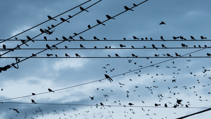 Large Flock Birds on a Wire Urban City Skyline Electrical Lines