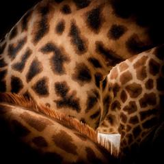 La peau de la girafe