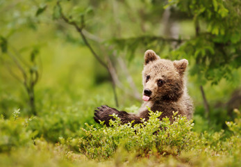 Brown bear cub sticking out the tongue in the boreal forest, Finland. Funny animals.