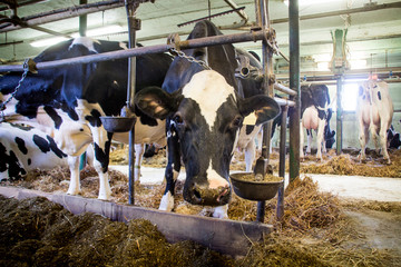 Holstein cattle in a close stable