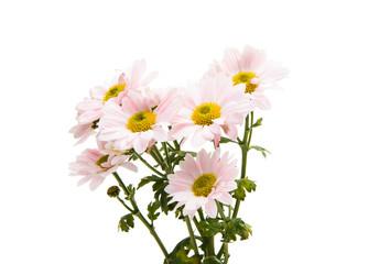 pink chrysanthemum flowers on white background