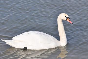 Beautiful swan in Danube river in Belgrade, Serbia , Swan on river in cold winter