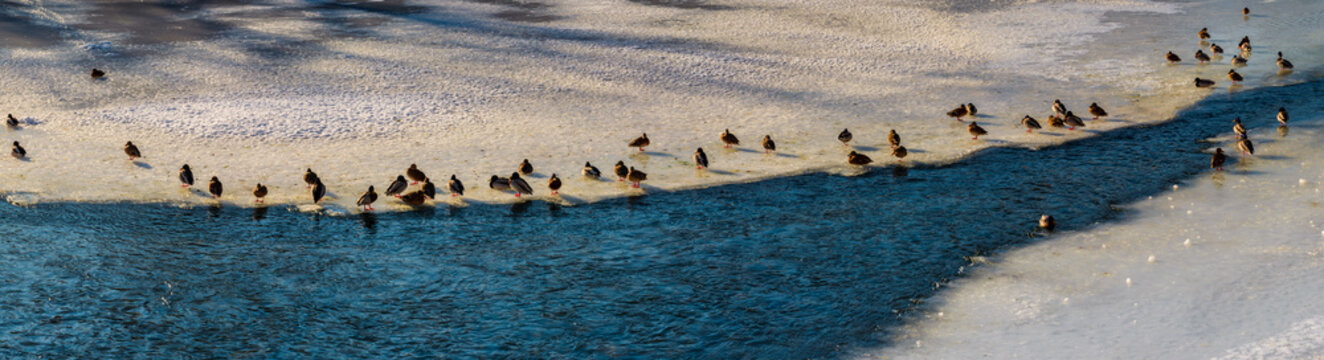 panoramic image with flock of ducks on the ice of frozen river